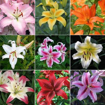 WHAT ARE LILY FLOWERS GOOD FOR?